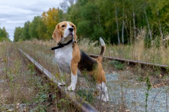 Adult tricolored beagle, railway, animals, dog, canine, pets wallpaper