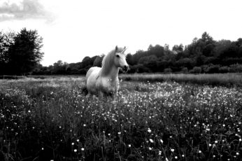 Horse, unicorn wallpaper, monochrome, flowers, sky, plant, field, land