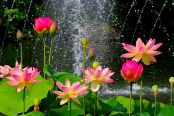 Beautiful lotus pond, pink flowers, green leaves wallpaper