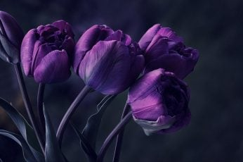 Purple tulip flower, tulips, particular, special, beautyful, amazing wallpaper
