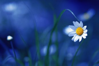 White daisy flower, selective focus photography of white daisy flower wallpaper