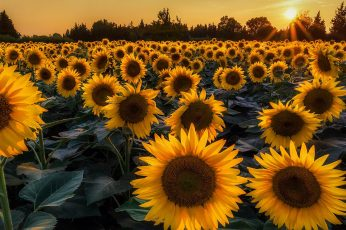 Sunflower, sunflower field, yellow flowers, sunflowers, blossom wallpaper