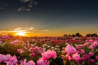 Pink rose flower, sunset, sunlight, flowers, pink roses, nature wallpaper
