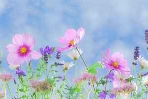 Selective focus photography of pin cosmos flowers and lavender flowers wallpaper