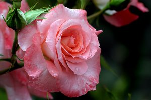 Close up photo of pink rose, Liverpool Echo, Roses, Gardening wallpaper