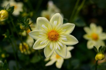 Dahlia Yellow Flowers High Quality Flower Wallpaper For Desktop Computers Hd Wallpapers For 4k Ultra Hd Tv 3840×2400