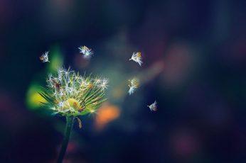 Wallpaper white dandelion flower, selective focus photo of green dandelion