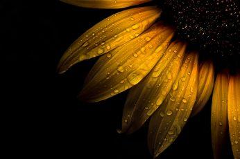 Wallpaper macro photo of water dew on sunflower, sunflower, Backyard, Flowers