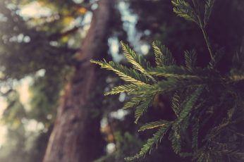 Wallpaper green leaf plant, photo of tree leaves during daytime, conifer