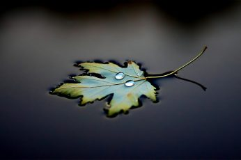 Wallpaper green leaf, green maple leaf, water drops, leaves, macro, photography