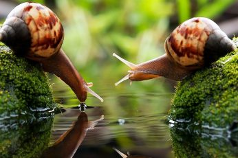 Wallpaper brown snail, two brown snails on algae-covered stones, drink