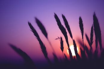 Wallpaper plant silhouette photography, silhouette of grass during sunset