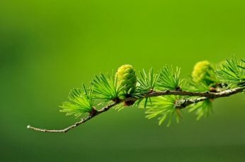 Wallpaper green leafed plant, conifer, cones, macro, blurred, photography