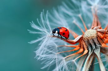 Insect Bubamara On Dandelion Macro Photography Ultra Hd Wallpapers For Desktop Mobile Phones And Laptop 3840×2400