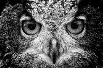 Wallpaper black and gray eagle, grayscale photography of owl, animals, macro