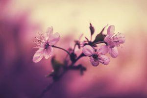 Pink petaled flower plant wallpaper, white cherry blossom flowers, macro