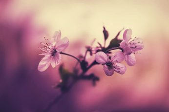 Pink petaled flower plant wallpaper, white cherry blossom flowers, macro