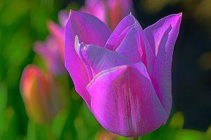 Macro shot of pink Tulip flower wallpaper, Prince, Purple, Woodburn Oregon