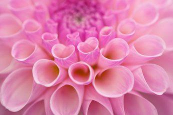 Macro wallpaper flowers, dahlias, plants, pink color, close-up, petal
