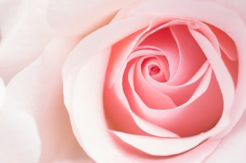 Beautiful Light Pink Rose Flower Macro wallpaper, Aero, Close, Cute, Pastel