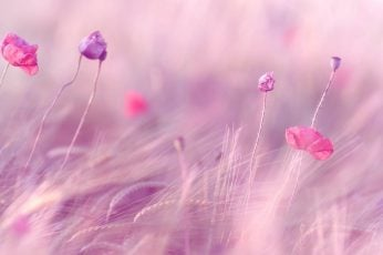 Pink petaled flowers wallpaper, wheat, field, poppies, blur, wind, plant