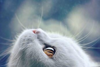 White cat wallpaper, animals, mammals, one animal, vertebrate, animal body part