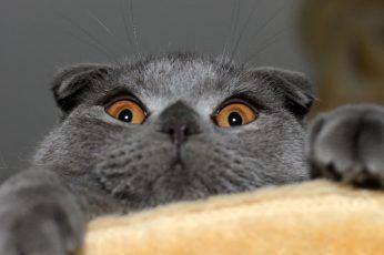 Gray cat wallpaper, animals, one animal, mammal, domestic cat, pets, portrait