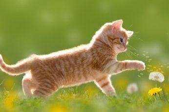 cat wallpaper, mammal, dandelion, flower, grass, whiskers, kitten, short haired cat