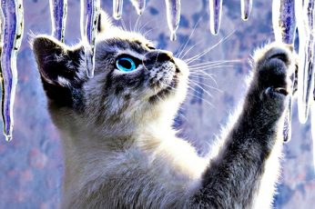 Animals Cats Abstract Artistic Ice Cute Desktop Background Images, siamese kitten