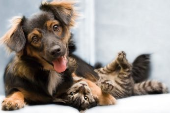 Long-coated black and tan dog and brown tabby cat wallpaper, animals, mammal