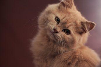 Selective focus photography of medium fur orange cat wallpaper, domestic Cat