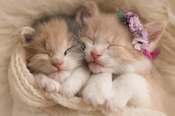 Two white and orange tabby kittens wallpaper, kitty, cat, cats, sleep, sleeping