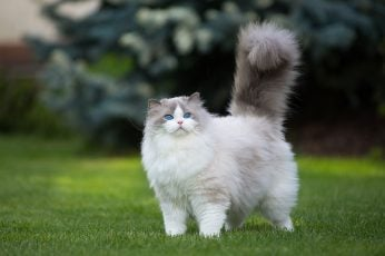 White and gray Persian cat wallpaper, grass, green, animals, blue eyes