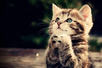 Prayer kitten wallpaper, cat, animal, cute, brown tabby kitten