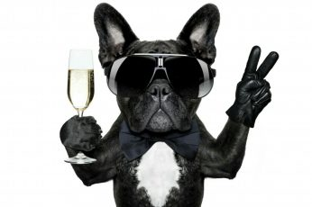 Dog wallpaper, celebrate, champagne, dog breed, snout, eyewear, french bulldog