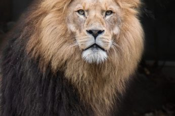Animal wallpaper, zoo, lion, cat, animal photography, big cat, carnivore