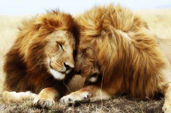 Two brown lions wallpaper, animal themes, mammal, group of animals, animal wildlife
