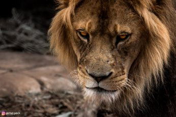 Brown lion wallpaper, wildlife, animals, Zoo, mammals, animal themes, animal wildlife