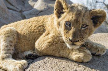 Brown lion cub wallpaper, animals, nature, animal themes, mammal, one animal