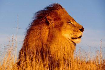 Lion wallpaper, nature, animals, feline, cat, lion – feline, animal wildlife