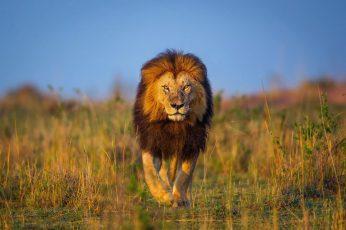 Brown lion walking on grass field wallpaper, animals, wildlife, nature