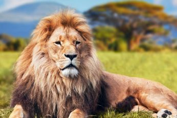 Brown lion wallpaper, animals, mammal, animal themes, animal wildlife, one animal