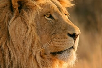 Close up photo of adult lion wallpaper, lion, yellow, animal, lion – Feline