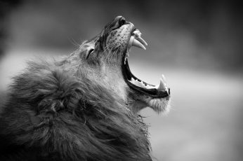 Grayscale photography of adult lion wallpaper, monochrome, fangs, animal