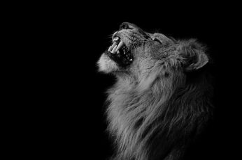 Lion wallpaper, photography, animals, one animal, mammal, black background