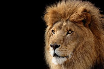Lion digital wallpaper, black background, animals, big cats, mammal