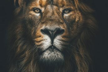 Brown lion wallpaper, muzzle, mane, loок, predator, animal