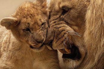 Adult lion with cub wallpaper, baby animals, animal themes, mammal, animal wildlife