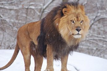 Brown and black lion wallpaper, animals, nature, snow, winter, cold temperature