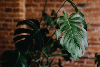 Green leaves of Monstera plant growing at home wallpaper, interior, leaf